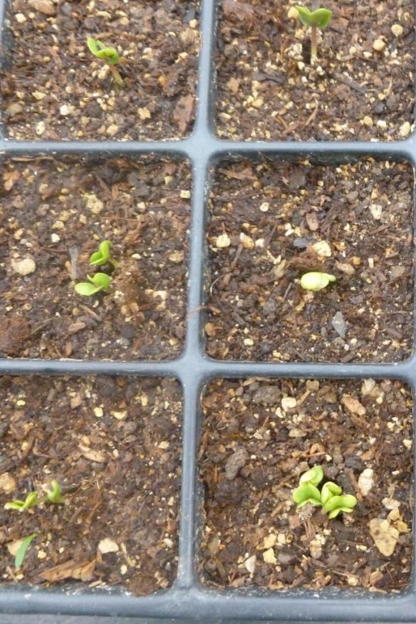 germination 2