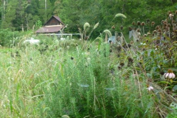 weedy herbs