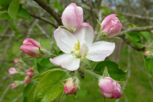 apple bud bloom