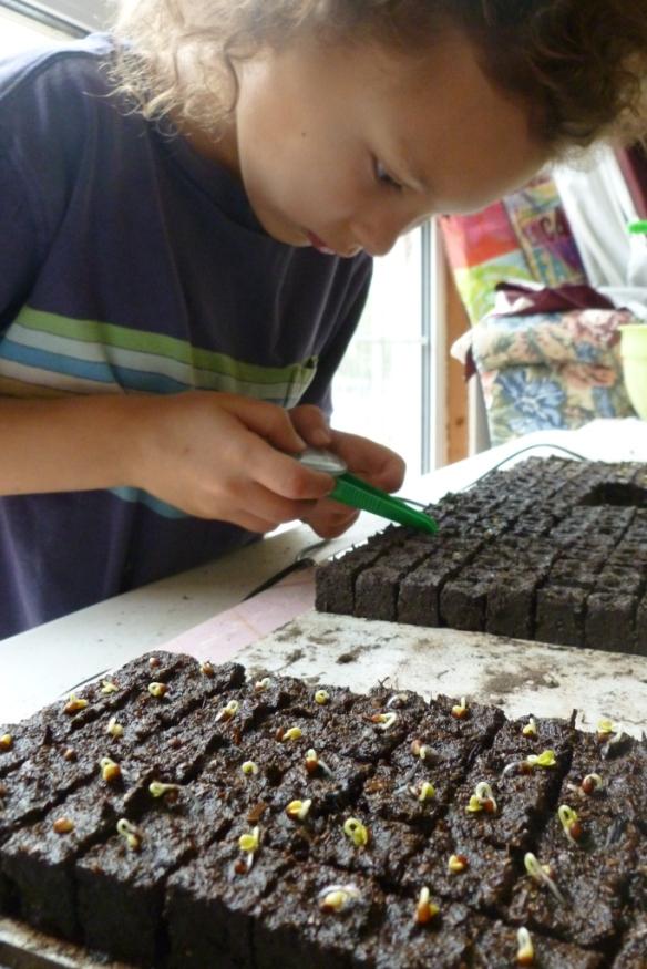 lulah seeding