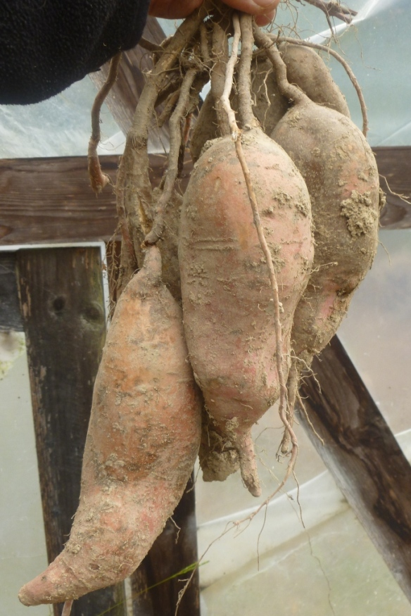 sweet potato cluster