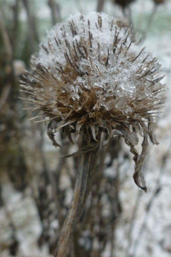 icy echinacea