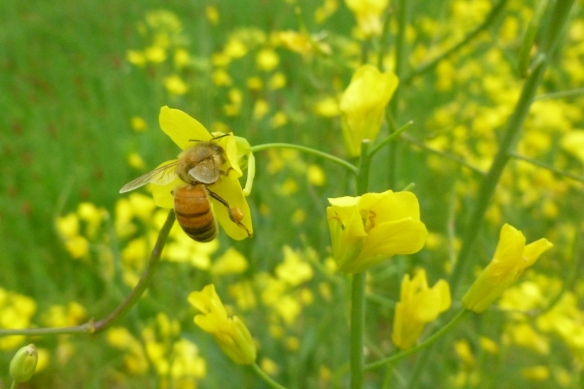 honeybee3