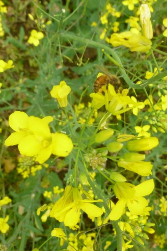 honeybee5