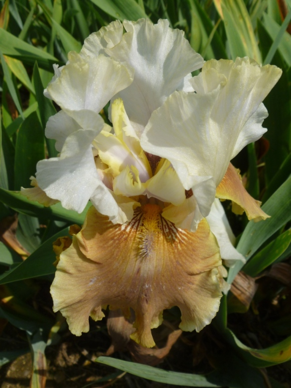 iris brown