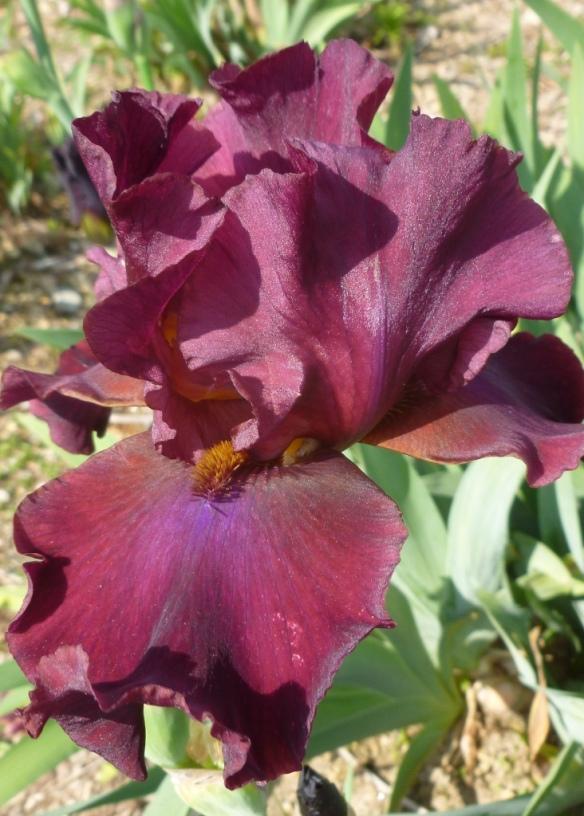 iris merlot