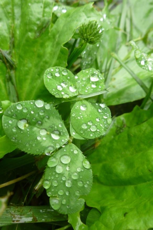 clover rain
