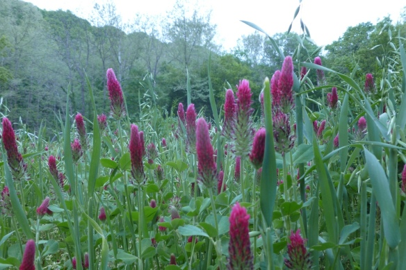 crimson clover and oats
