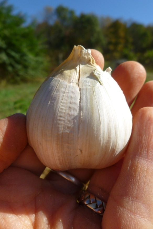 garlic double bulb