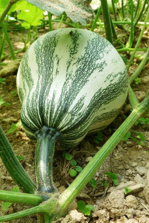 seed squash